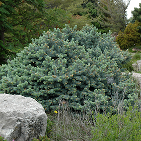 Evergreen Shrub Photo