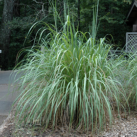 Ornamental Grass Photo