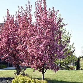 Flowering Tree Photo
