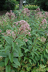 Gateway Joe Pye Weed (Eupatorium maculatum 'Gateway') at Niemeyer's Landscape Supply