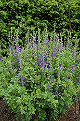 Blue Wild Indigo (Baptisia australis) at Niemeyer's Landscape Supply