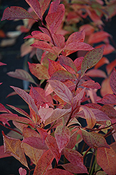 Little Henry® Virginia Sweetspire (Itea virginica 'Sprich') at Niemeyer's Landscape Supply