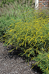 Fireworks Goldenrod (Solidago rugosa 'Fireworks') at Niemeyer's Landscape Supply