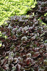 Black Scallop Bugleweed (Ajuga reptans 'Black Scallop') at Niemeyer's Landscape Supply
