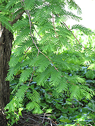 Dawn Redwood (Metasequoia glyptostroboides) at Niemeyer's Landscape Supply