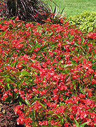 Dragon Wing Red Begonia (Begonia 'Dragon Wing Red') at Niemeyer's Landscape Supply