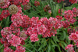 Ballerina Red False Sea Thrift (Armeria pseudarmeria 'Ballerina Red') at Niemeyer's Landscape Supply