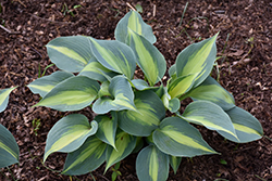 Touch Of Class Hosta (Hosta 'Touch Of Class') at Niemeyer's Landscape Supply