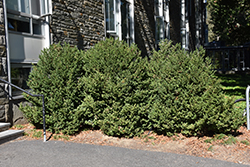 Green Mountain Boxwood (Buxus 'Green Mountain') at Niemeyer's Landscape Supply